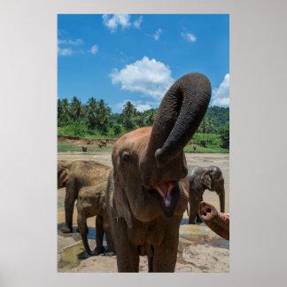 Poster Eau potable d'éléphant, Sri Lanka