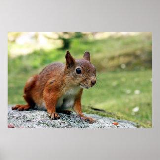 Poster Écureuil rouge eurasien