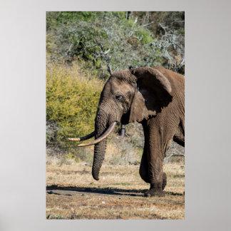 Poster Éléphant avec de longues défenses