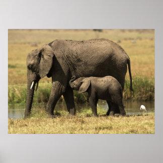 Poster Éléphants africains