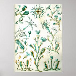 Poster Ernst Haeckel Campanariae