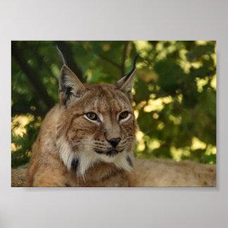 Poster Européen Lynx
