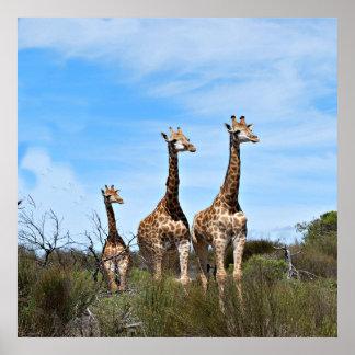 Poster Famille de girafe sur le sommet herbeux