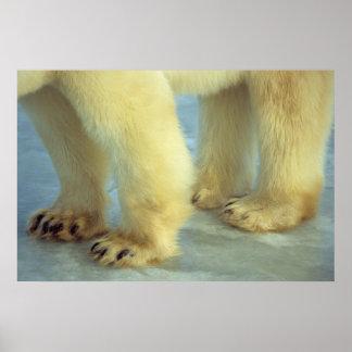 Poster Fermez-vous des pieds d'ours blanc