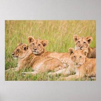 Poster Fierté de lion CUB