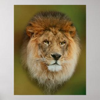Poster Fin majestueuse de lion de l'Afrique du Sud
