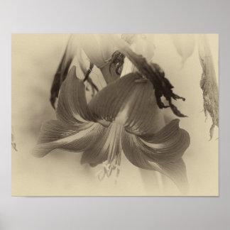 Poster Fleur antique d'amaryllis - belle photo de nature