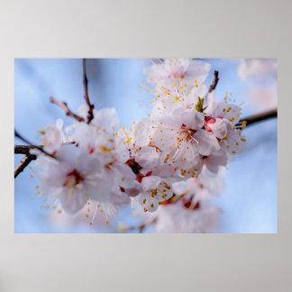Poster Fleur d'abricot japonais