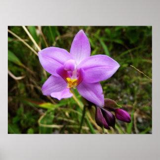 Poster Fleur tropicale pourpre d'orchidée sauvage