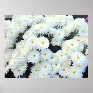 Poster Fleurs blanches de chrysanthème