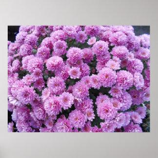 Poster Fleurs roses de chrysanthème