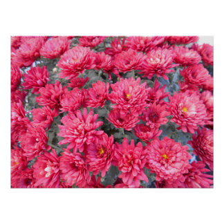 Poster Fleurs rouges de chrysanthème