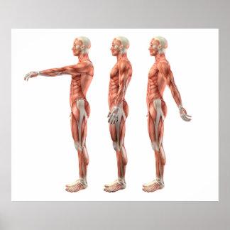 Poster Flexion, extension et hyperextension d'épaule