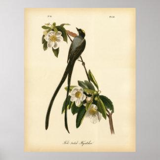 Poster FLYCATCHER Fourchette-coupé la queue par oiseau