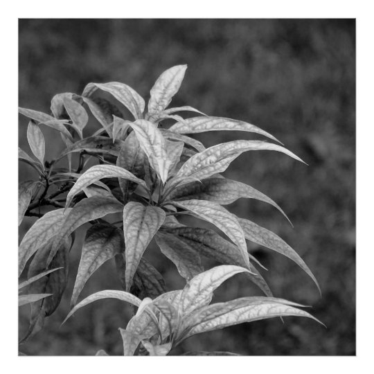 Poster Foliage in black ans white 02