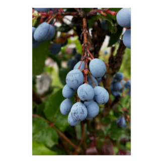 Poster Fruit de prunellier