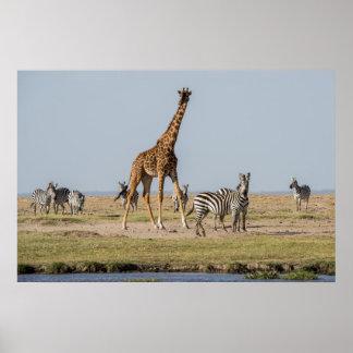 Poster Girafe et zèbres par un point d'eau