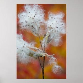 Poster Graines de Milkweed en automne, Canada
