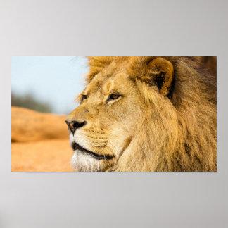 Poster Grand lion regardant loin
