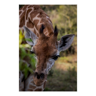 Poster Headshot d'une girafe