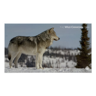 Poster Hiver - loup
