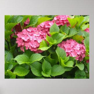 Poster Hortensias de floraison