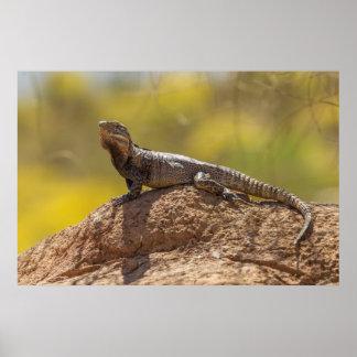Poster iguane Épineux-coupé la queue sur la roche