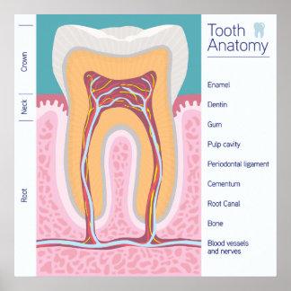 Poster Illustration d'anatomie de dent