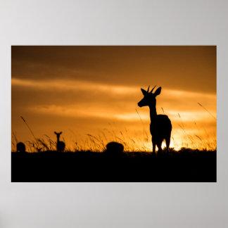 Poster Impala au coucher du soleil