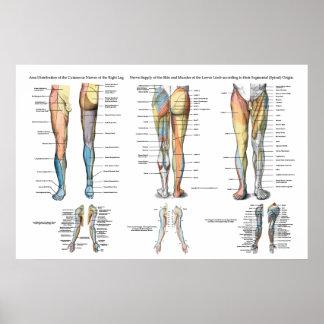 Poster Innervation de nerf de jambe d'affiche inférieure