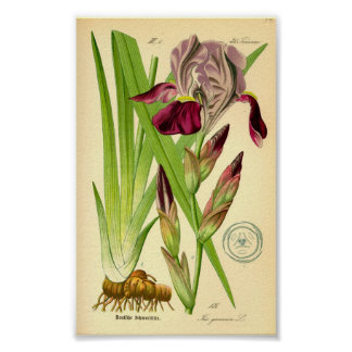 Poster Iris germanique (germanica d'iris)