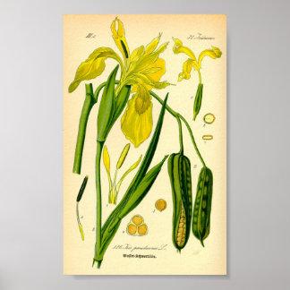 Poster Iris jaune (pseudacorus d'iris)