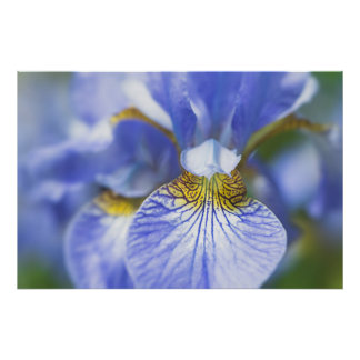 Poster Iris sibérien
