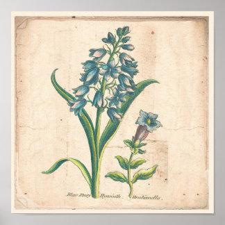 Poster Jacinthe botanique antique d'étoiles bleues