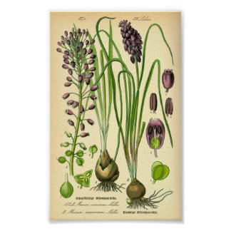 Poster Jacinthe de raisin (neglectum de Muscari)