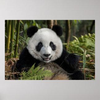 Poster Jeune panda heureux, Chine