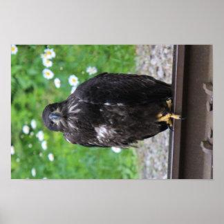 Poster KMCphoto Eagle chauve juvénile se reposant sur des