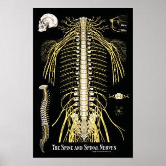 Poster La chiropractie d'épine et de nerfs rachidiens
