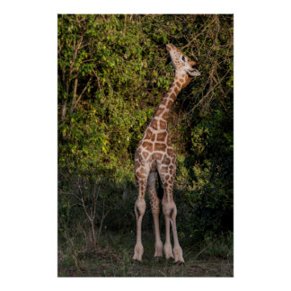 Poster La girafe atteignant jusqu'à mangent