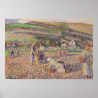 Poster La récolte de pomme de terre