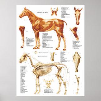 Poster L'affiche d'anatomie de cheval Muscles et désosse