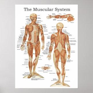 Poster L'affiche musculaire 18 x 24 d'anatomie de système