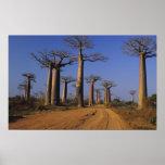 Poster L'Afrique, Madagascar, Morondava, avenue de baobab