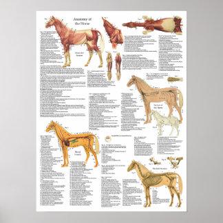 Poster L'anatomie de cheval Muscles des artères d'os 18 x