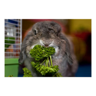 Poster L'Andora le lapin : Attaque de persil