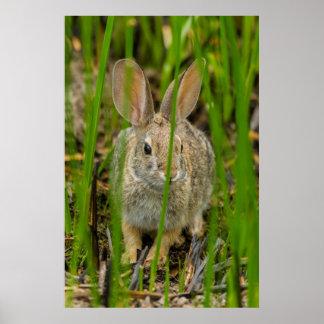Poster Lapin de lapin de désert