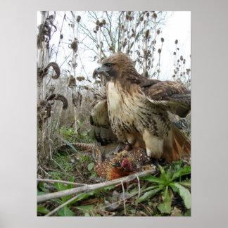 Poster L'art de la fauconnerie : Faucon coupé la queue