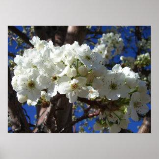 Poster Le blanc se développe arbre fleurissant du ressort