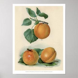 Poster Le cru porte des fruits illustration - abricot