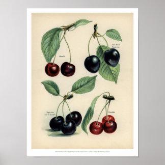 Poster Le cru porte des fruits illustration - cerise
